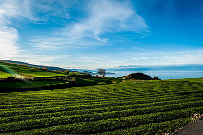 Photograph - Field Of Tea by Joseph Amaral