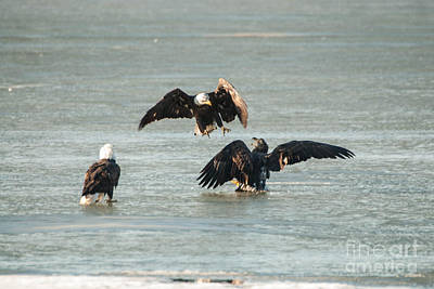Eagles Photograph - Fighting Eagles by Robert Smice