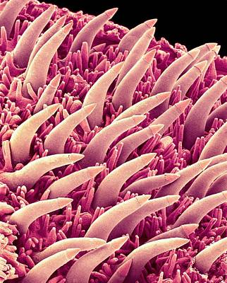 Fish Taste Buds, Sem Art Print by Science Photo Library
