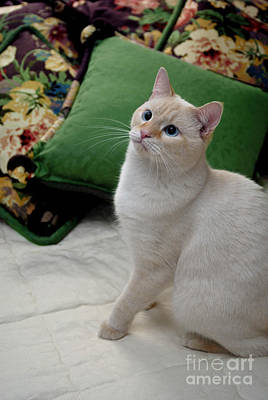 Kitty Photograph - Flame Point Siamese Cat by Amy Cicconi