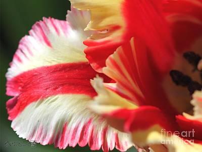 Flaming Parrot Tulip Art Print by J McCombie