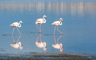 Flamingo Birds Walking On A Lake Original by Michalakis Ppalis
