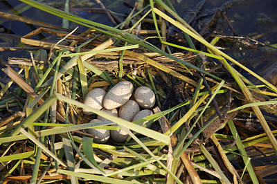 Photograph - Floating Nest Of Coot Eggs by Byron Jorjorian