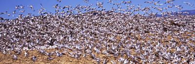 The Beauty Of Nature Photograph - Flock Of Snow Geese Flying, Bosque Del by Panoramic Images