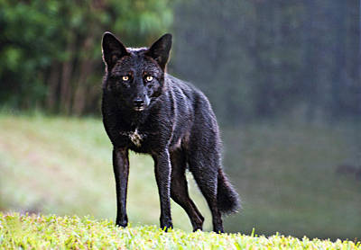 Photograph - Florida Black Coyote by Donna Proctor