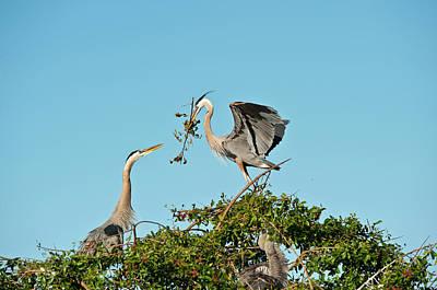 Florida, Venice, Great Blue Heron Art Print