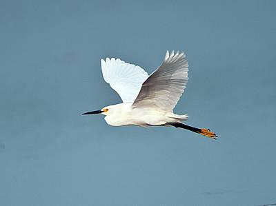 Egretta Thula Photograph - Florida, Venice, Snowy Egret Flying by Bernard Friel