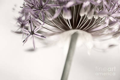 Floret Photograph - Flowering Onion Flower by Elena Elisseeva