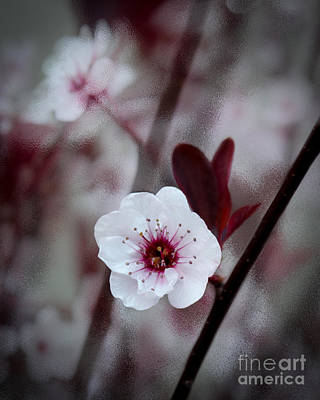 Photograph - Flowering Plum by Michael Arend