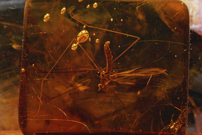 Photograph - Fly In Amber by Paul Zahl