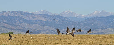 Flying Canadian Geese Colorado Rocky Mountains 1 Print by James BO  Insogna