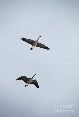 Photograph - 2 Flying Geese by Jackie Farnsworth