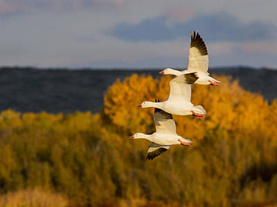 Photograph - Flying Snow Geese by Jean Noren