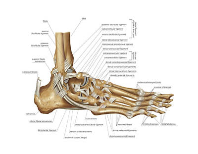 Human Joint Photograph - Foot Joints by Asklepios Medical Atlas