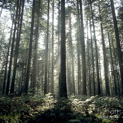 Fir Trees Photograph - Forest by Bernard Jaubert