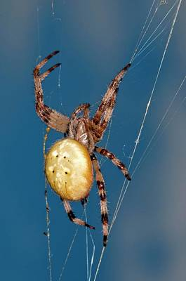 Spiderweb Photograph - Four-spot Orb-weaver Spider by Dr. John Brackenbury/science Photo Library
