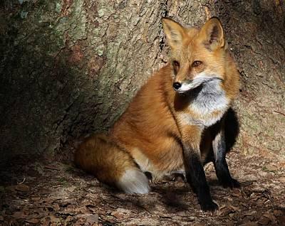 Fox Digital Art - Fox by Paulette Thomas