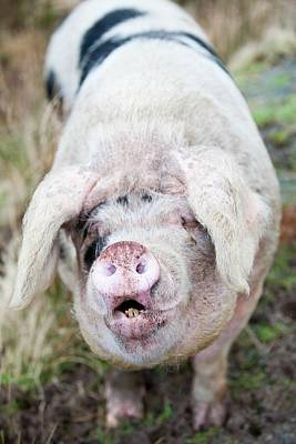 Pig Photograph - Free Range Pig by Ashley Cooper