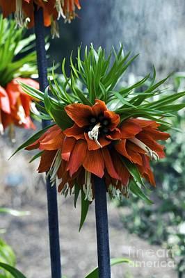 Fritillary Fritillaria Imperialis Art Print by Dr. Keith Wheeler