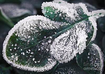 Frosty Leaf Art Print by Elena Elisseeva