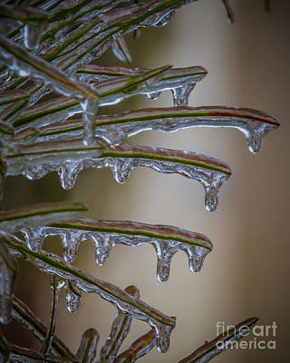 Photograph - Frozen Pine Needles Close Up by Gene Berkenbile