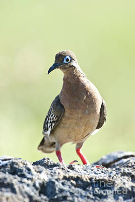 Galapagos Wildlife Photograph - Galapagos Dove by William H. Mullins