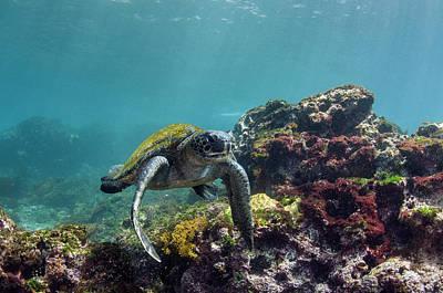 Galapagos Green Sea Turtle (chelonia Art Print