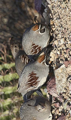 Photograph - Gambel's Quail by Gregory Scott