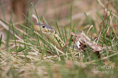 Photograph - Garter Snake by Jeannette Hunt