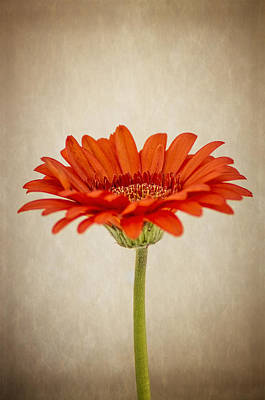 All You Need Is Love - Gerbera by Paulo Goncalves
