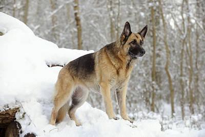 Dog In Snow Photograph - German Shepherd Dog by John Daniels