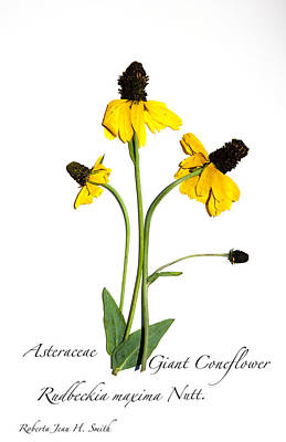 Photograph - Giant Coneflower by Roberta Jean Smith