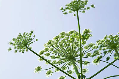 Cow Parsley Wall Art - Photograph - Giant Hogweed (heracleum Mantegazzianum) by Gustoimages/science Photo Library