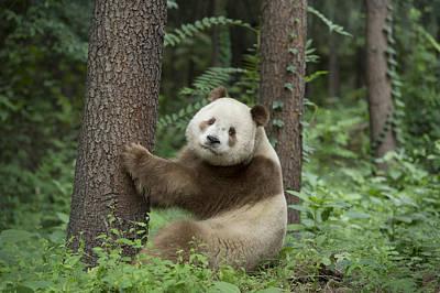 Giant Panda Brown Morph China Art Print by Katherine Feng