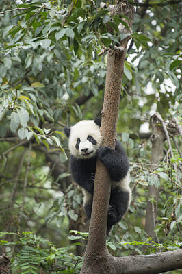 Panda Cub Wall Art - Photograph - Giant Panda Cub Chengdu Sichuan China by Katherine Feng