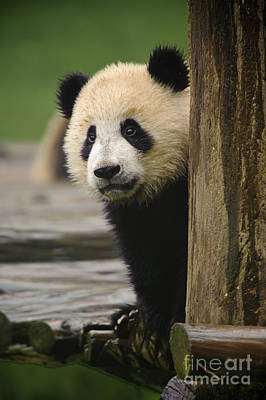 Panda Cub Wall Art - Photograph - Giant Panda Cub by John Shaw