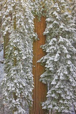 Giant Sequoias And Snow  Art Print