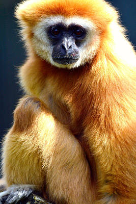 Hiding Mixed Media - Gibbon Monkey  by Tommytechno Sweden
