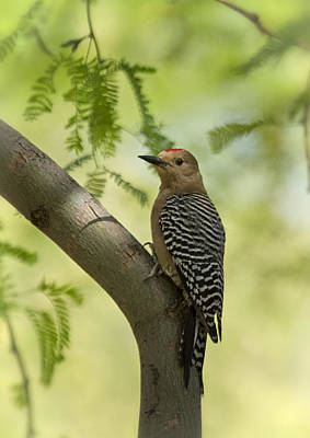 Photograph - Gila Woodpecker  by Saija  Lehtonen