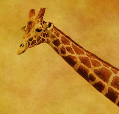 Photograph - Giraffe Portrait by Dan Sproul