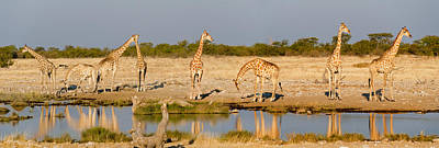 Giraffes Giraffa Camelopardalis Art Print by Panoramic Images