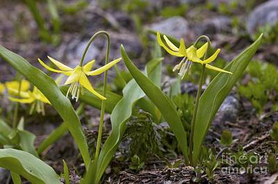 Fawn Lily Photograph - Glacier Lilies Erythronium Montanum by Bob Gibbons