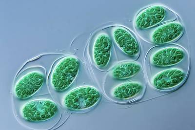 Eukaryote Photograph - Glaucocystis Algae by Gerd Guenther
