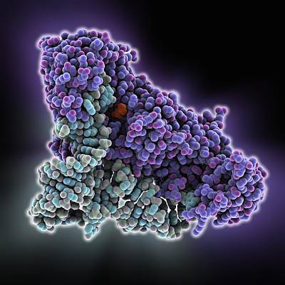 Trna Photograph - Glutaminyl-trna Synthetase Molecule by Science Photo Library