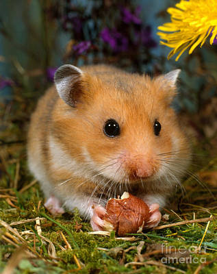 Syrian Hamster Photograph - Golden Hamster by Hans Reinhard