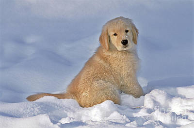 Snowy Golden Retriever Photograph - Golden Retriever Puppy Dog by Rolf Kopfle