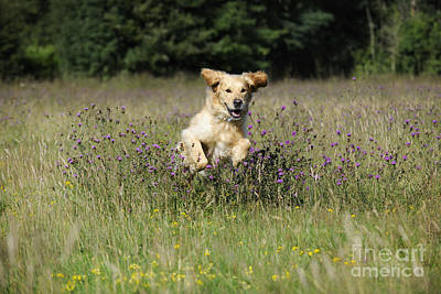 Golden Retriever Running Art Print