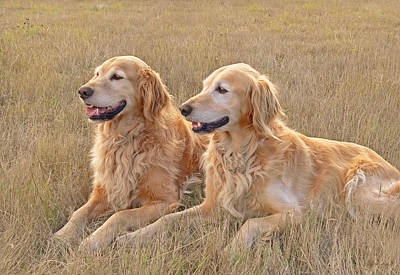 Photograph - Golden Retrievers In Golden Field by Jennie Marie Schell