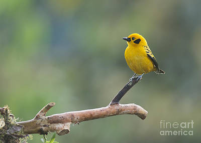 Photograph - Golden Tanager by Dan Suzio