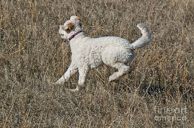 Goldendoodle Running Art Print by William H. Mullins